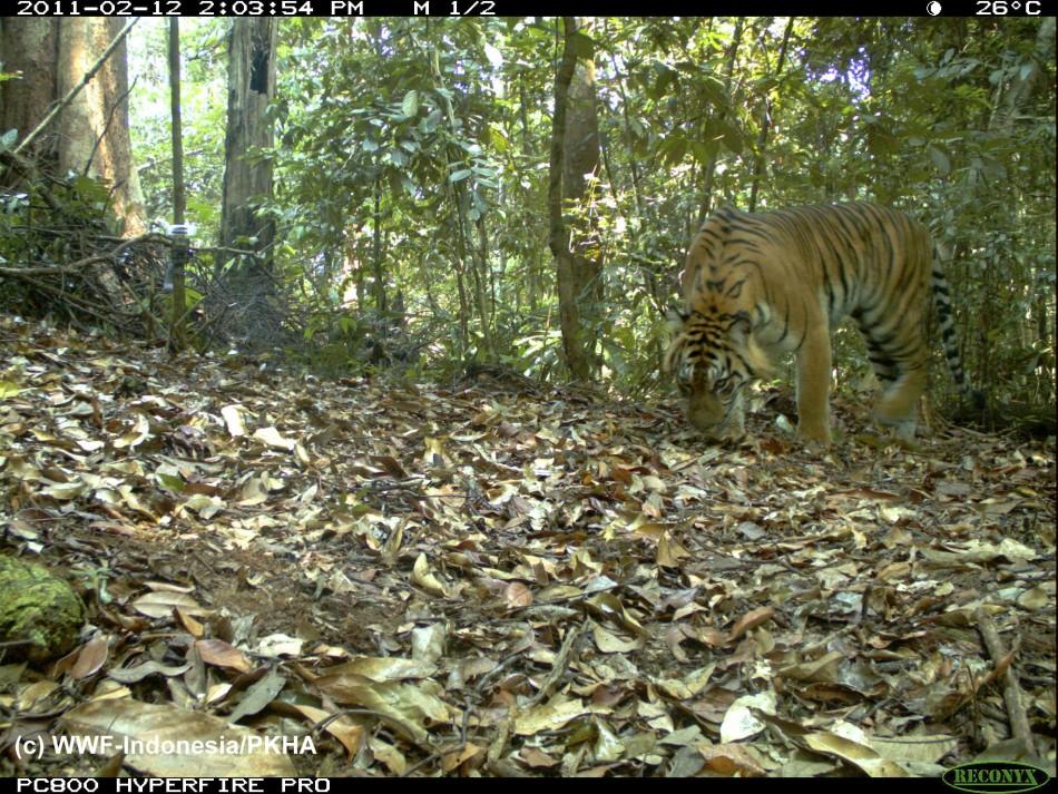 Photo of a Sumatran Tiger captured using camera traps in Bukit Tigapuluh