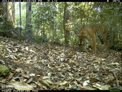Photo of a Sumatran Tiger captured using camera traps in Bukit Tigapuluh