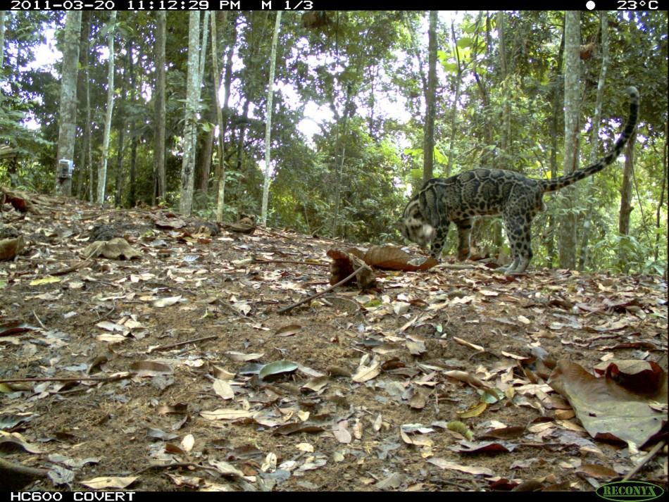 Photo of a Clouded Leopard captured using camera traps in Bukit Tigapuluh