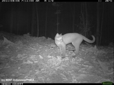 Photo of a Golden Cat captured using camera traps in Bukit Tigapuluh