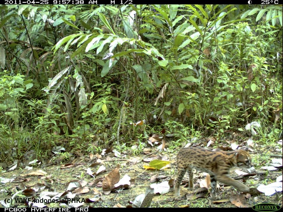 Photo of a Leopard Cat captured using camera traps in Bukit Tigapuluh