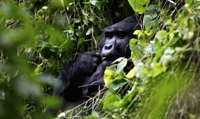 A silverback mountain gorilla is seen during a census inside Bwindi Impenetrable National Park, about 550 km (341 miles) west of Uganda's capital Kampala