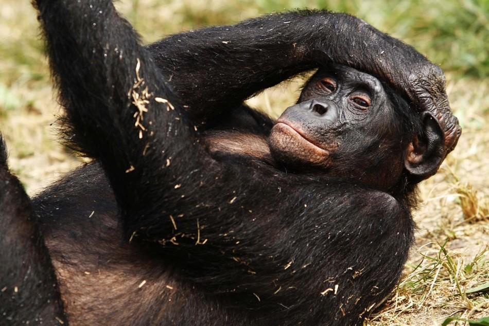 A bonobo lies at Lola Ya Bonobo sanctuary just outside Congo's capital Kinshasa