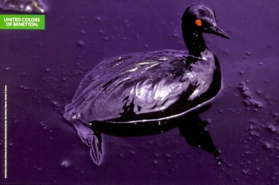 Oil-polluted duck