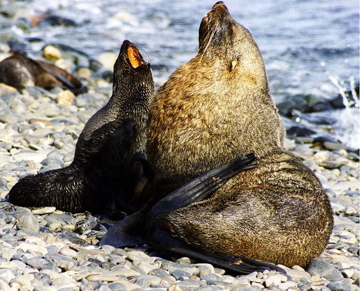 Antartic Fur Seals
