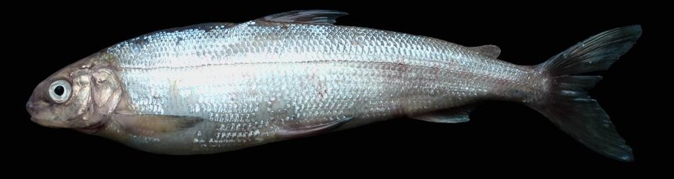 Coregonus bavaricus