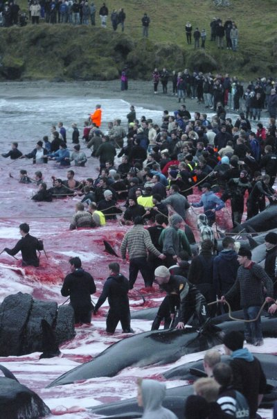 Inhabitants of the Faroe Islands have taken part in their traditional Grindadrap  a gruesome hunt for pilot whales.
