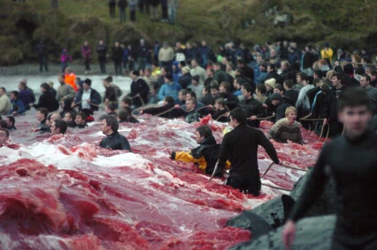 Whale Slaughter in Faroe Islands