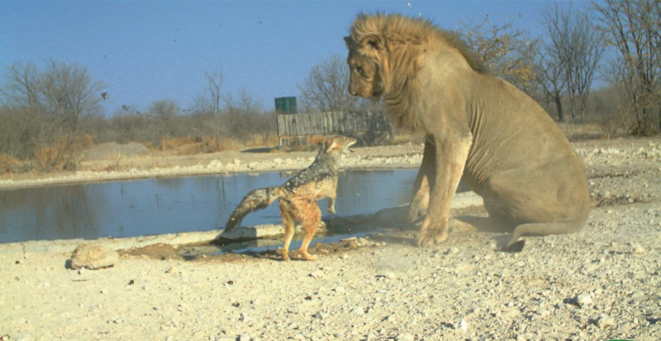Overall  Animal Behaviour Winner Jackal vs lion by Ken Stratford