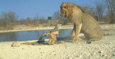 Overall  Animal Behaviour Winner Jackal vs lion by Ken Stratford