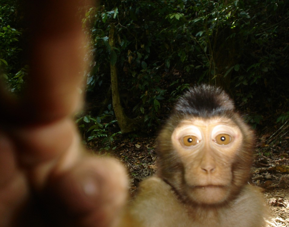 Animal Portraits runner-up Pig-tailed macaque by Joanna Ross and Andrew Hearn