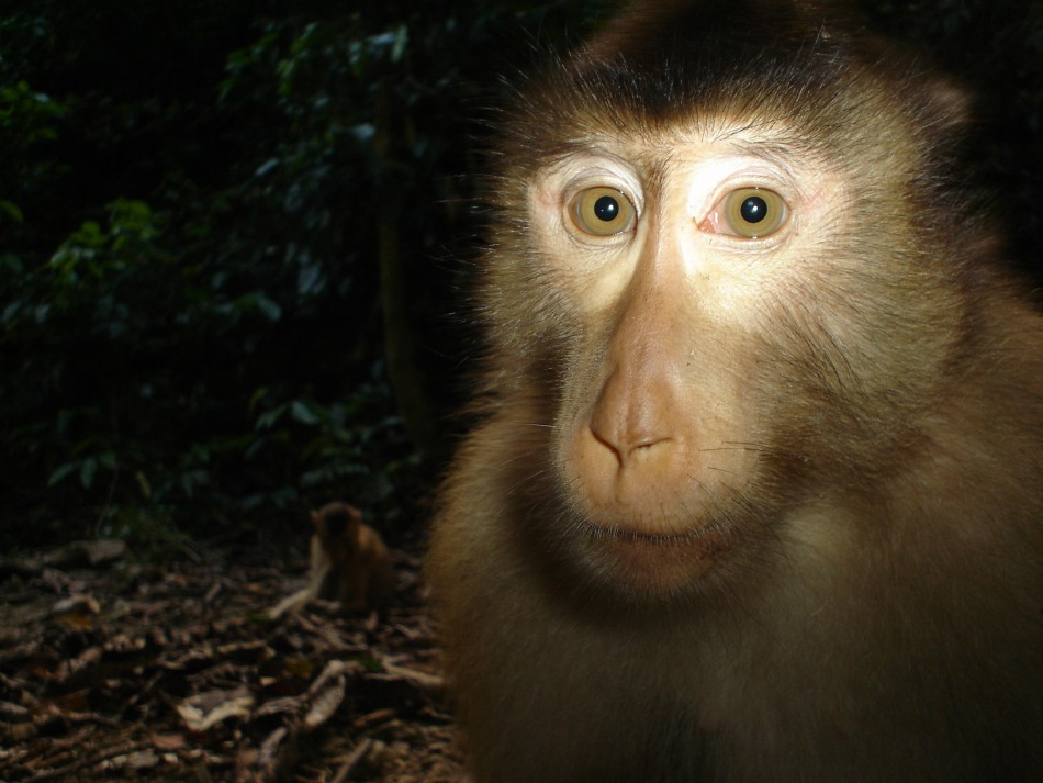 Animal Portraits commended Pig-tailed macaque by Joanna Ross and Andrew Hearn