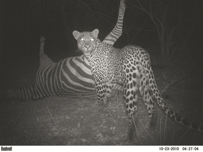 Animal Portraits runner-up Leopard with zebra by Michelle Altenkirk, South Africa