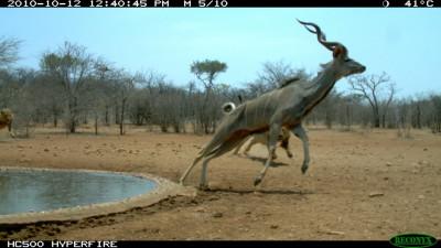 Animal Behaviour runner-up Startled kudu by Ken Stratford, Namibia