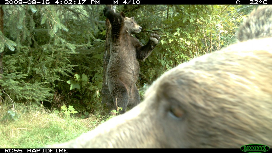 Animal Behaviour commended Brown bears by Melanie Clapham