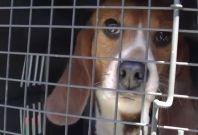 Beagle released from captivity