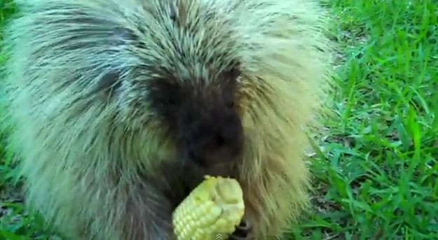 Teddy the Porcupine