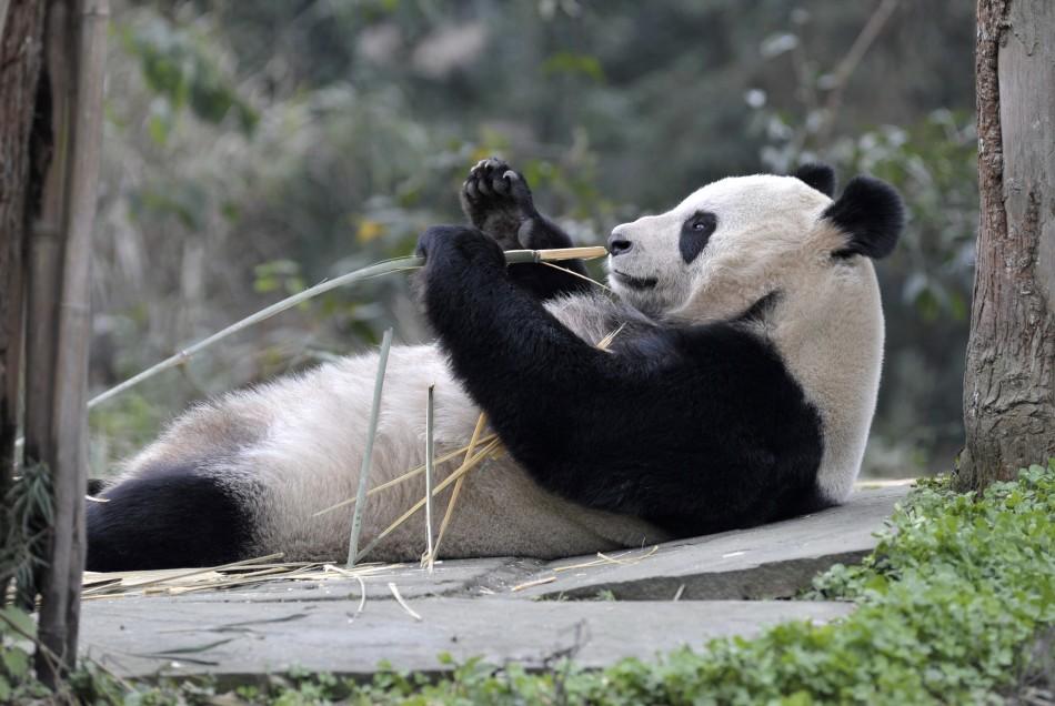 Giant panda Tian Tian holds a bamboo shoot at Bifengxia panda breeding centre in Ya039an, Sichuan province