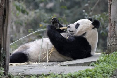 Giant panda Tian Tian holds a bamboo shoot at Bifengxia panda breeding centre in Ya039an, Sichuan province