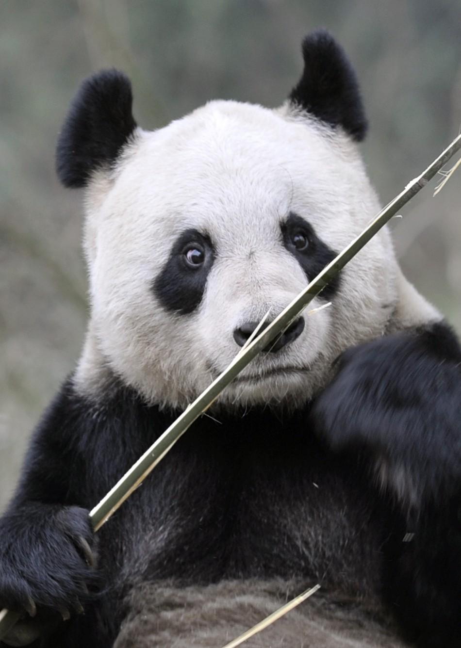 Giant panda Tian Tian holds a bamboo shoot at Bifengxia panda breeding centre in Ya039an