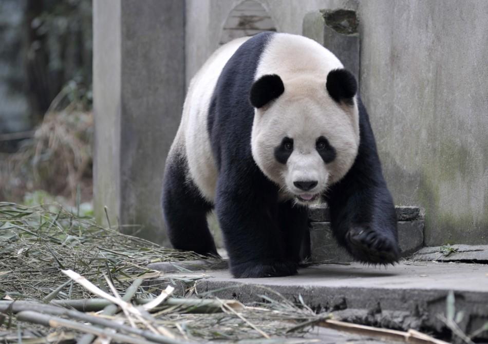 Giant panda Yang Guang walks at Bifengxia panda breeding centre in Ya039an