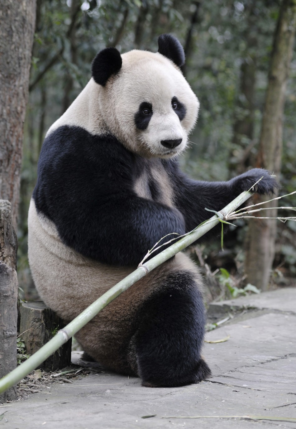 Giant panda Yang Guang holds a bamboo at Bifengxia panda breeding centre in Ya039an