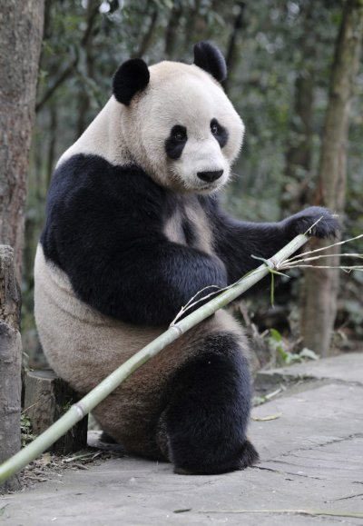 Giant panda Yang Guang holds a bamboo at Bifengxia panda breeding centre in Ya039an