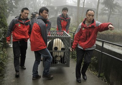 Staff transport panda Tian Tian in a cage at the Bifengxia panda breeding centre in Ya039an, Sichuan province