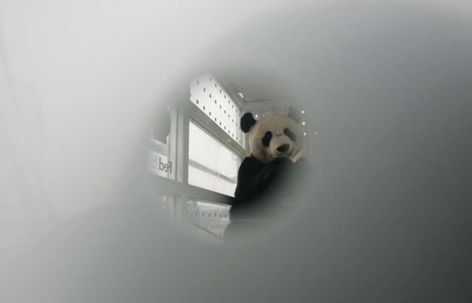 Giant panda Yang Guang is seen eating bamboo branches through a whole of a FedEx container at Chengdu Shuangliu International Airport