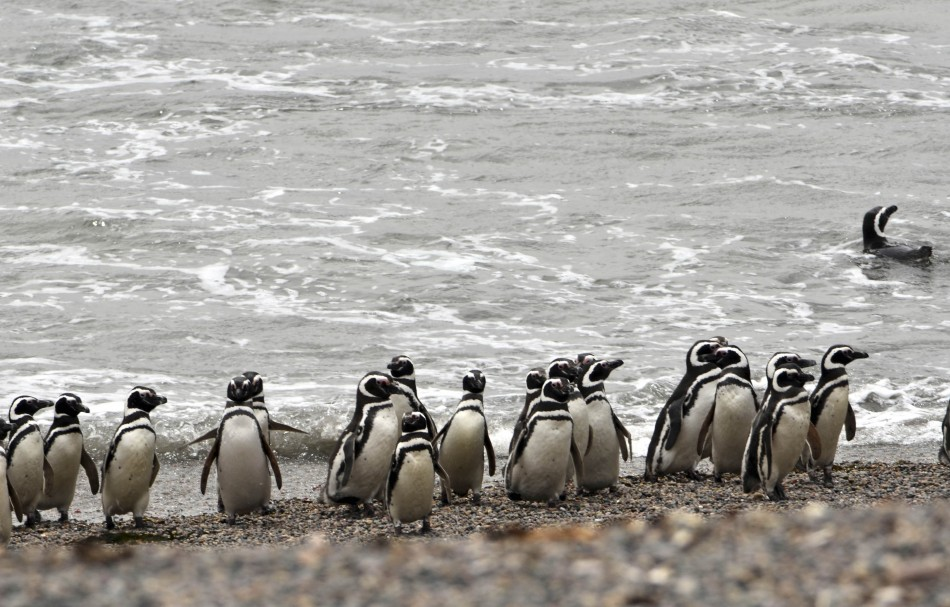 Satellite Mapping Trace Double Number of Emperor Penguins as Expected