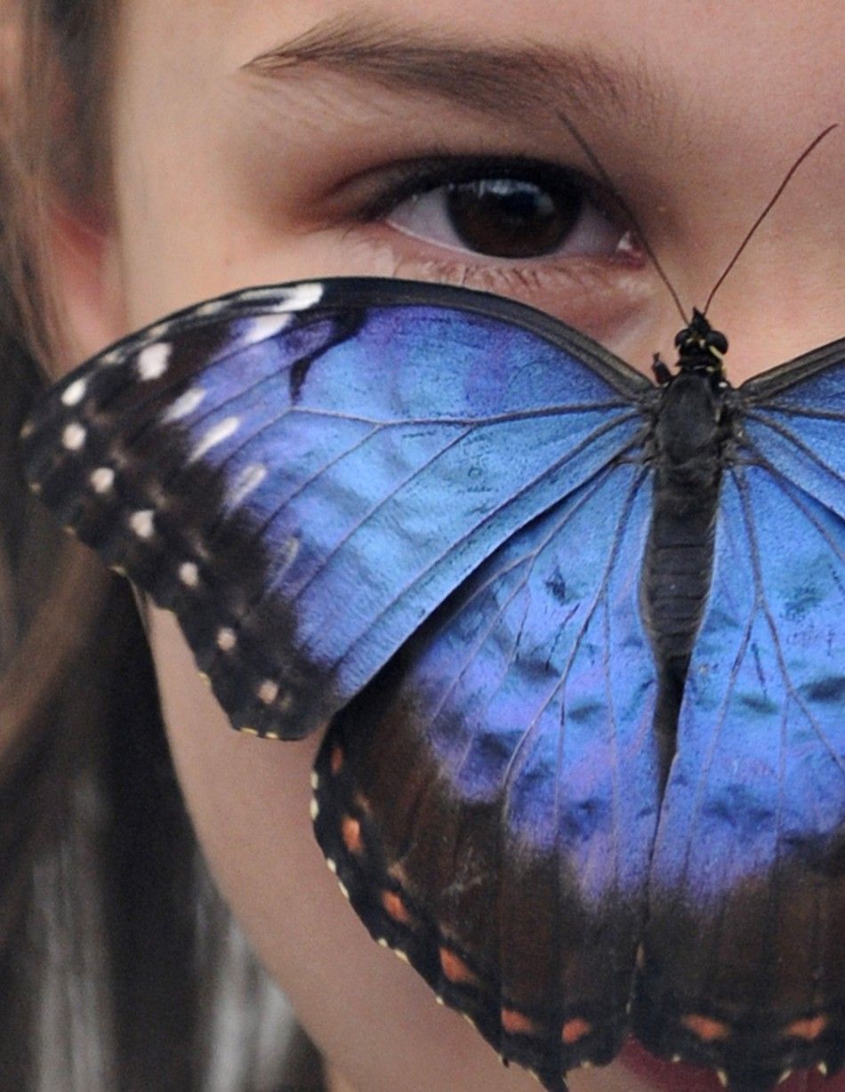 A Blue Morpho butterfly at the Natural History Museum in London