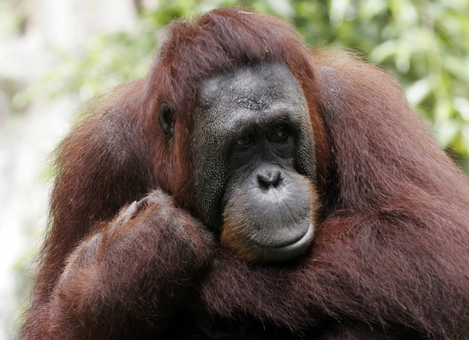 Two female were found orangutans cannibalising the bodies of their recently deceased babies in the space of one month in Indonesia