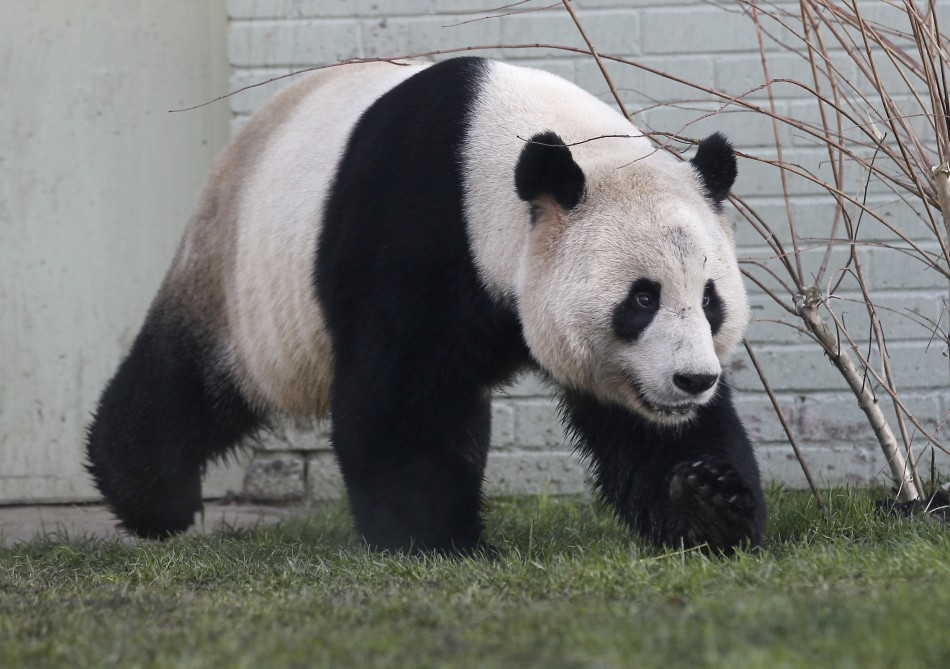 Tian Tian: the BBC's female face of December