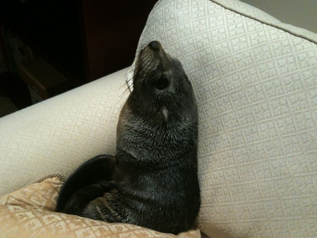 Baby seal wanders into New Zealand home