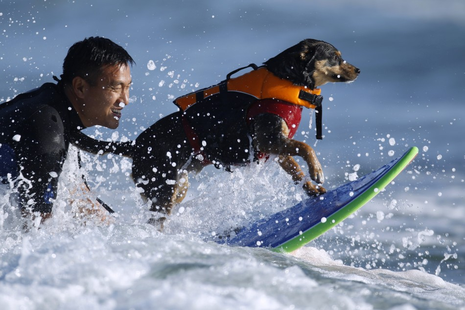 Dog Surfing Off the California Beach.
