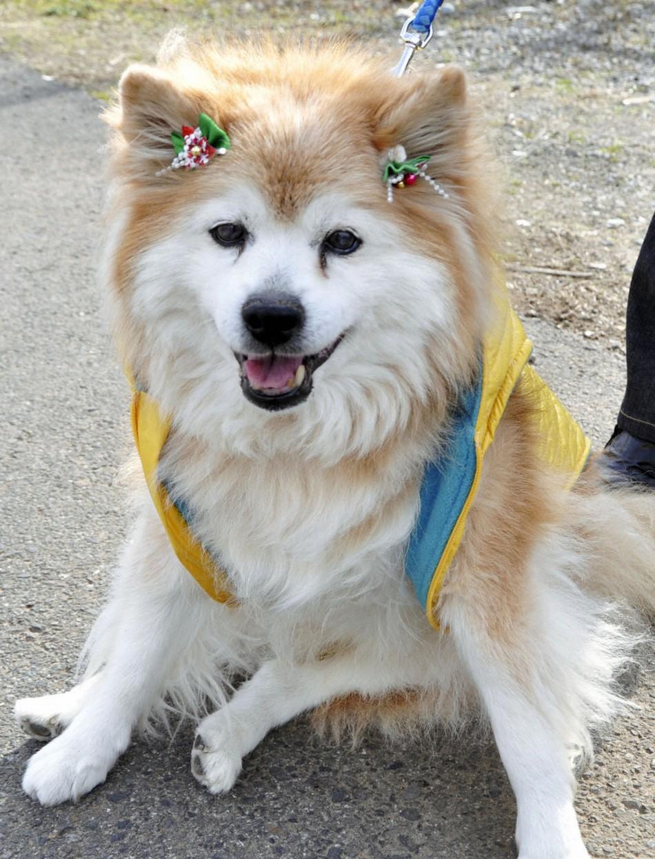 Pusuke Japan dog
