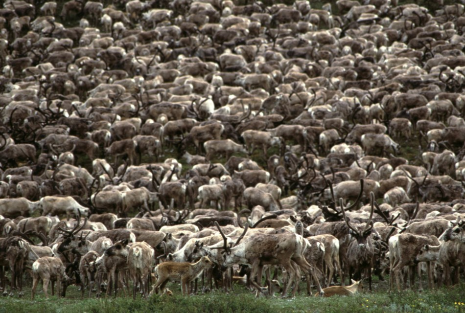 Caribou: World's Largest Reindeer Herd Shrink in Size
