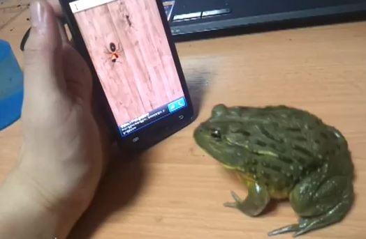 Pet African bullfrog plays mobile phone game credit YouTube/KoreanFrogMania