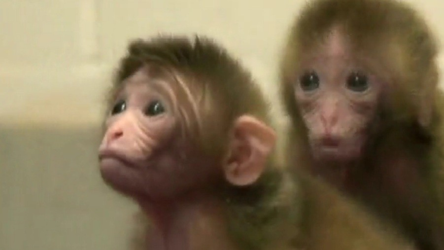 Genetically modified monkeys, Roku and Hex (Reuters)