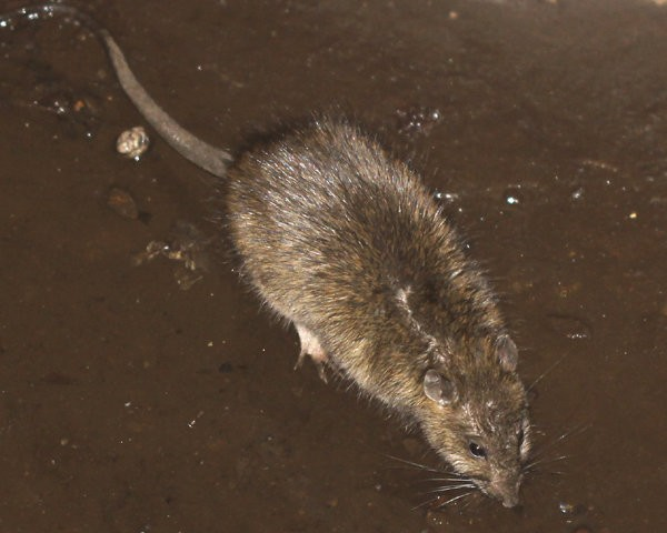 Rat infestation in New York subway