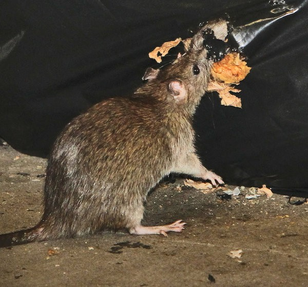 Rat free subway campaign New York