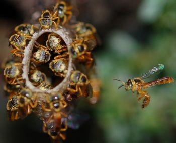 Jattai Bees