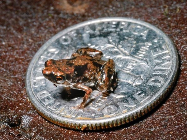 The world's smallest frog is just a quarter of an inch long (pic:Louisiana State University)