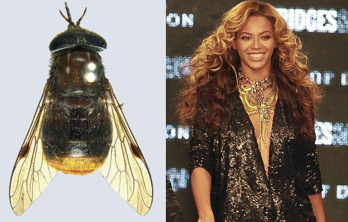 The Scaptia (Plinthina) beyonceae fly,