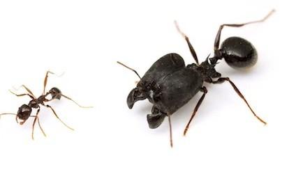 Supersoldier ants
