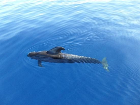 A pilot whale in the wild