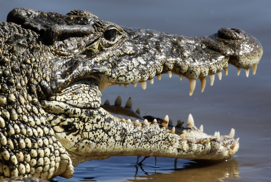 Local officials in eastern Indonesia say a crocodile swallowed a 10-year-old girl while she swam in a river. (Reuters)