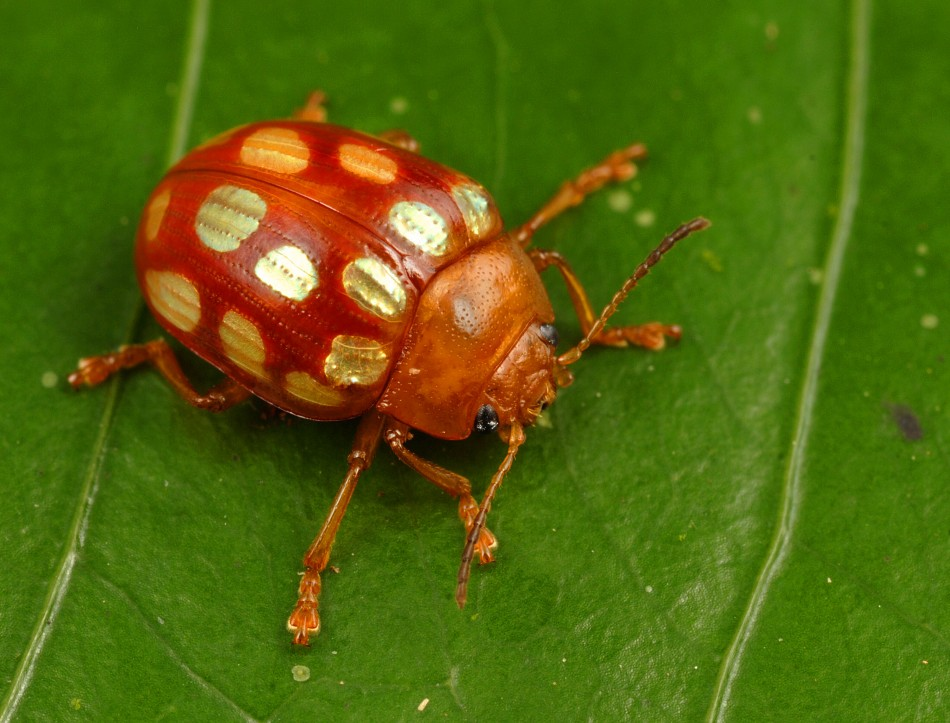 Leaf Beetle New Species Discovered...