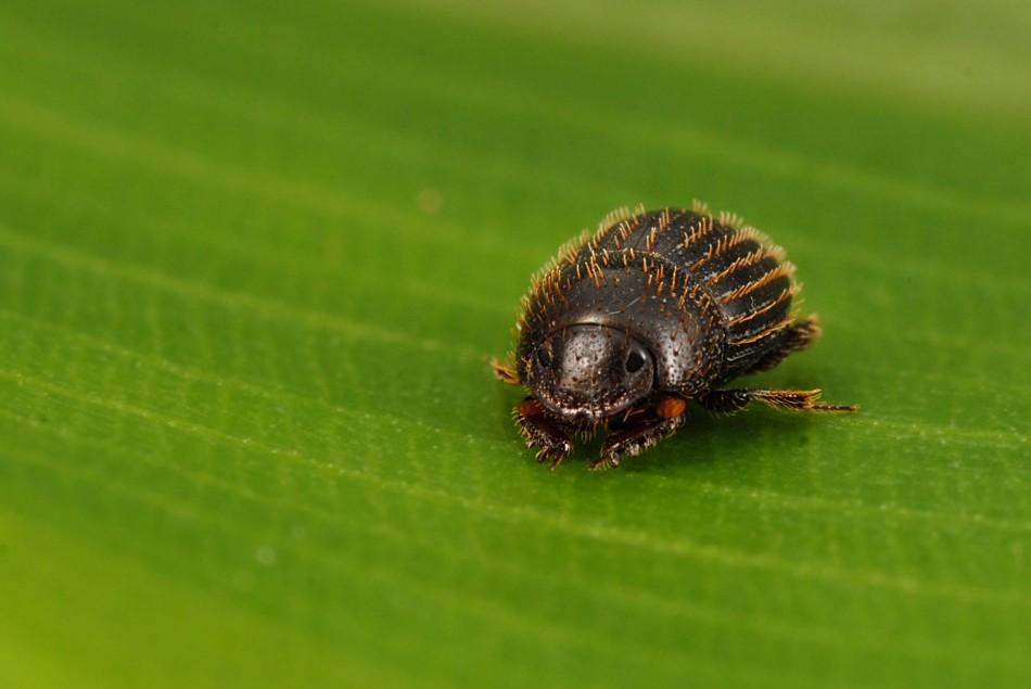 Tiny dung beetle