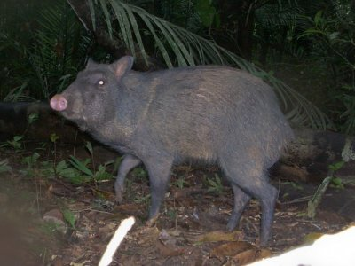 The collared peccary